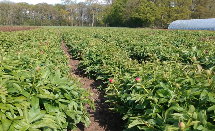 Peonies as far as the eye can see - glimpses from the field
